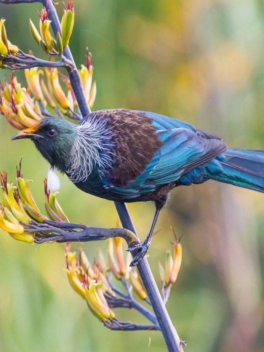 NZ native Tui